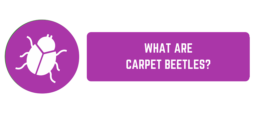 What Are Carpet Beetles How To Prevent A Carpet Beetle